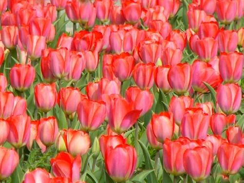 026rote-tulpen